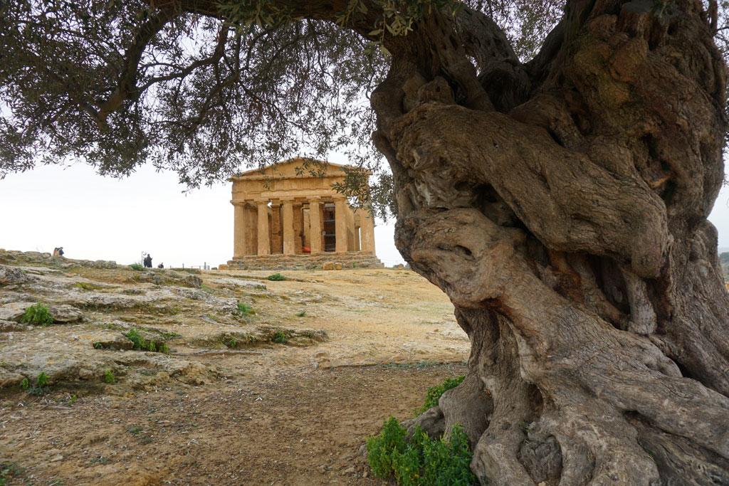 Il Tempio della Concordia e l'ulivo secolare