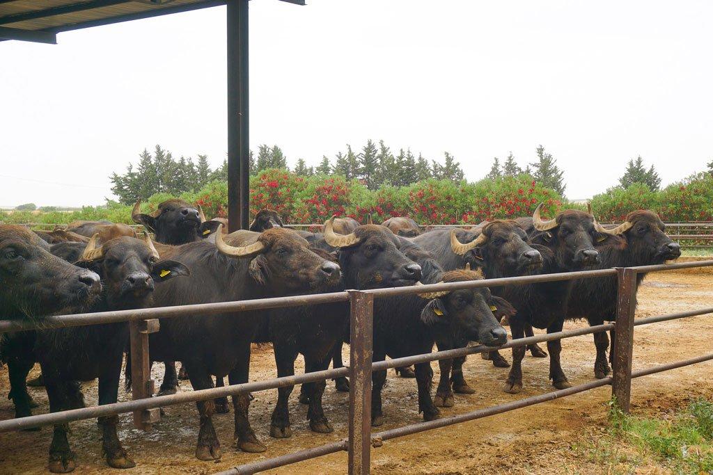 bufale alto tavoliere
